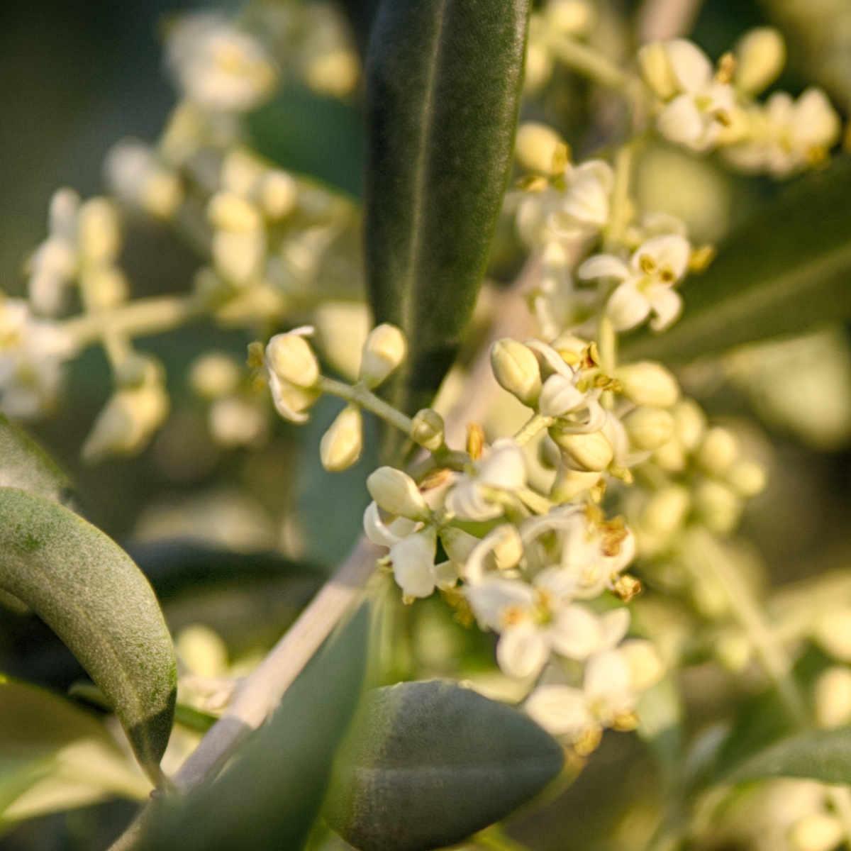 Olivo in fiore